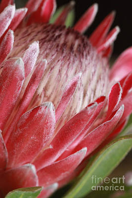 Photograph - Protea All Profits Go To Hospice Of The Calumet Area by Joanne Markiewicz