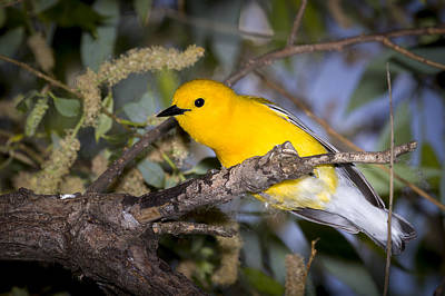 Photograph - Prothonotary Warbler by Jack R Perry