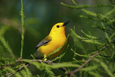 Prothonotary Warbler (prothonoteria Art Print by Larry Ditto