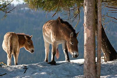 Breeding Photograph - Przewalski's Horse Or Takhi (equus by Martin Zwick