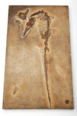 Pterosaur Fossil Art Print by Ucl, Grant Museum Of Zoology