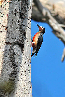 Photograph - Puerto Rican Woodpecker Endemic by Alan Lenk
