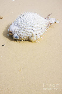 Wildlife Disasters Photograph - Puffed Out Puffer Fish by Jorgo Photography - Wall Art Gallery