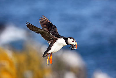 Photograph - Puffin by Grant Glendinning