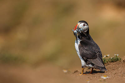 Metal Fish Art Photograph - Puffin With Sand Eels by Izzy Standbridge
