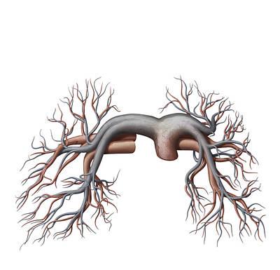 Photograph - Pulmonary Veins And Arteries by QA International