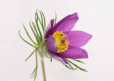 Photograph - Pulsatilla Vulgaris by Paul Gulliver