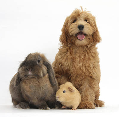 House Pet Photograph - Puppy, Rabbit And Guinea Pig by Mark Taylor