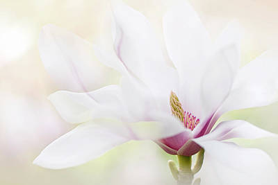Magnolia Photograph - Purity by Jacky Parker