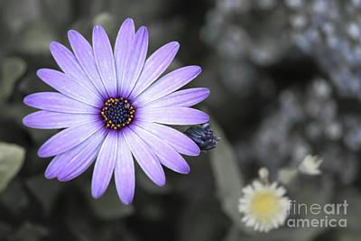 Purple Daisy Art Print by Design Windmill