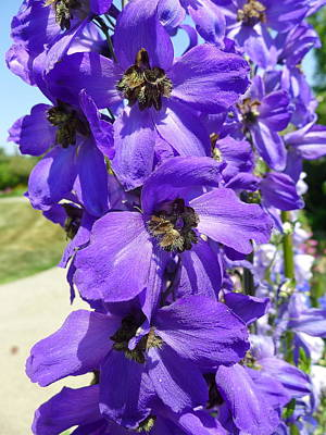 Photograph - Purple Delphiniums by Denise Mazzocco