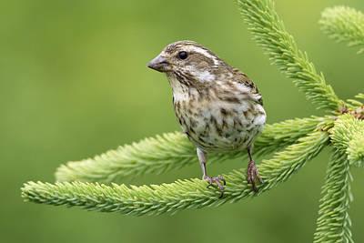 Vertebrata Photograph - Purple Finch Female Canada by Scott Leslie