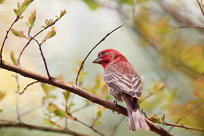 Photograph - Purple Finch by Trina  Ansel