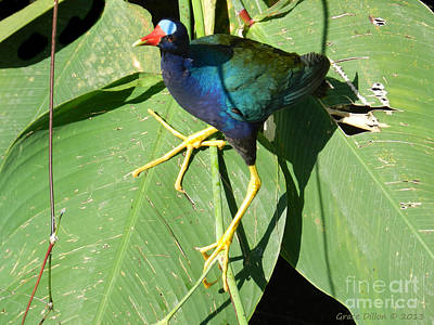 Photograph - Purple Gallinule by Grace Dillon