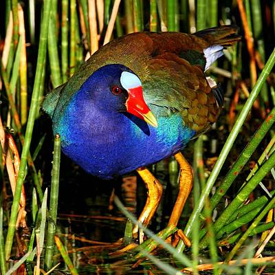 Photograph - Purple Gallinule by Ira Runyan