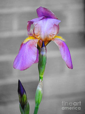 Photograph - Purple Iris by Jai Johnson