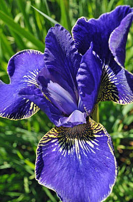 Photograph - Purple Iris by Tikvah's Hope