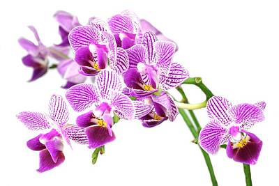 Photograph - Purple Orchid-4 by Rudy Umans