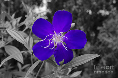 Photograph - Purple Passion by Joe McCormack Jr