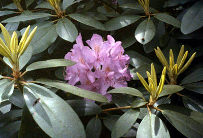 Purple Rhododendron Art Print