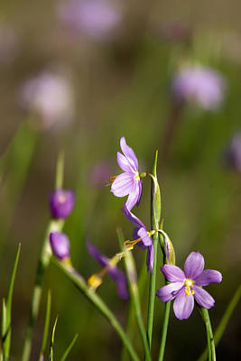 Photograph - Purple Snow Drop Flowers by Alex Grichenko