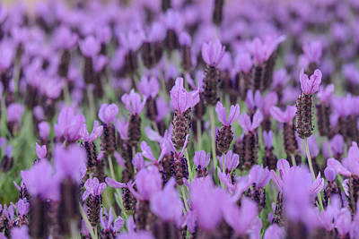 Photograph - Purple Spanish Lavender Flower by Brandon Bourdages