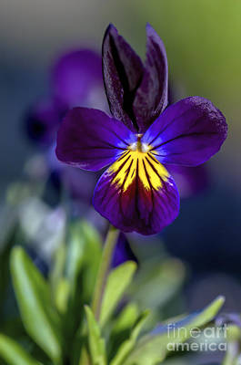 Johnny Jump Up Pansy Photograph - Purple Viola by Sharon Talson