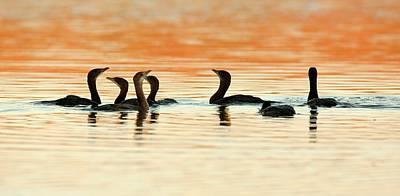 Pygmy Cormorant (microcarbo Pygmeus) Art Print by Photostock-israel