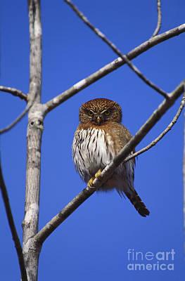 Pygmy Owl Wall Art - Photograph - Pygmy Owl by Art Wolfe