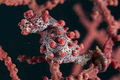 Photograph - Pygmy Seahorse by Colin Marshall and FLPA