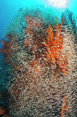 Pygmy Sweepers And Gorgonian Sea Fans Art Print by Georgette Douwma