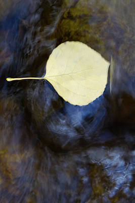 Quaking Aspen Photograph - Quaking Aspen Leaves In The South Ponil by Maresa Pryor