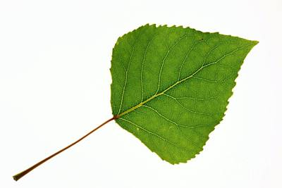 Quaking Aspen Populus Tremuloides Leaf Art Print by Bjorn Svensson
