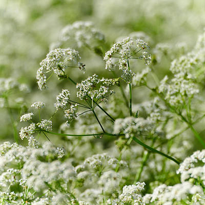 Cow Parsley Wall Art - Photograph - Queen Annes Lace by Jouko Lehto