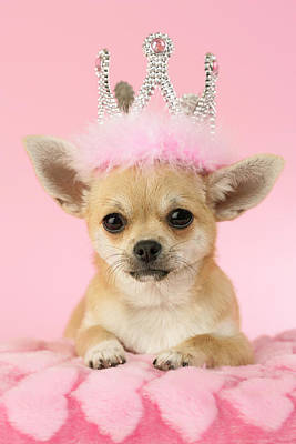 Chihuahua Photograph - Queen Chihuahua by Greg Cuddiford