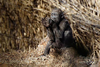 Door Locks And Handles - Quiet Juvenile Gorilla by Richard Smith