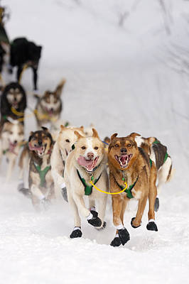 Willow Lake Photograph - Quinn Iten Lead Dogs Running On Long by Jeff Schultz