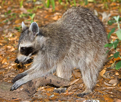 Photograph - Raccoon Adult Feeling For Grubs by Millard H. Sharp