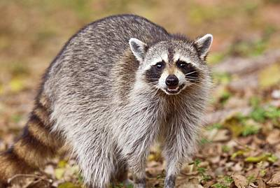 Racoon Photograph - Raccoon Foraging For Food by Bob Gibbons