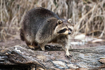 Photograph - Raccoon On A Log by Jack Bell