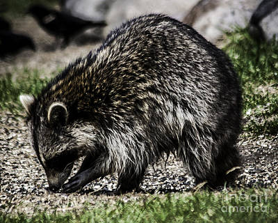 Photograph - Raccoon by Ronald Grogan