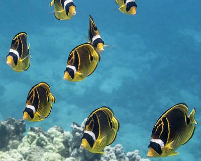 Photograph - Racoon Butterflyfish  Chaetodon Lunula by Thomas Kline