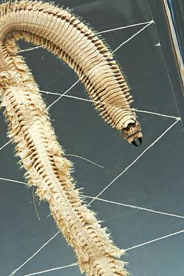 Ragworm Specimen Print by Ucl, Grant Museum Of Zoology