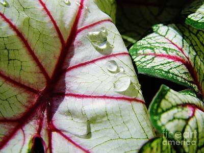 Moisture On Plants Photograph - Raindrops On Caladium Leaf by D Hackett