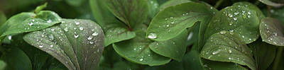 Raindrops On Leaves Art Print by Panoramic Images