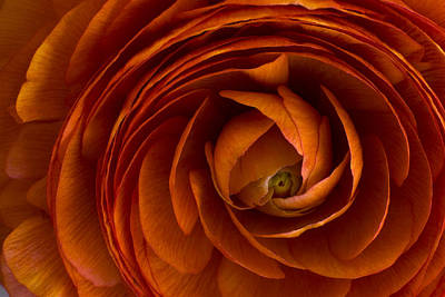 Photograph - Ranunculus by Cindy Rubin