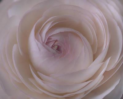 Photograph - Ranunculus by Kim Aston
