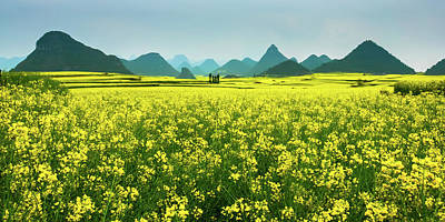 Rapeseed Flowers Art Print by Sunnyha  Images