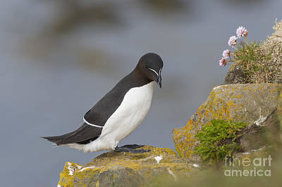 Razorbill Wall Art - Photograph - Razorbill by John Shaw
