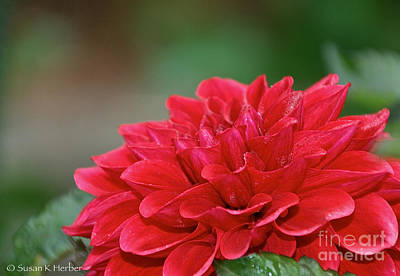 Photograph - Really Red Dahlia by Susan Herber